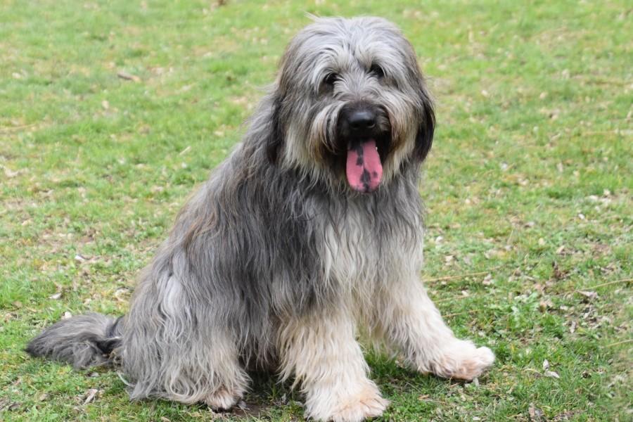 Goofy de perro carpintero Gos d'Atura Català sucht neues Zuhause