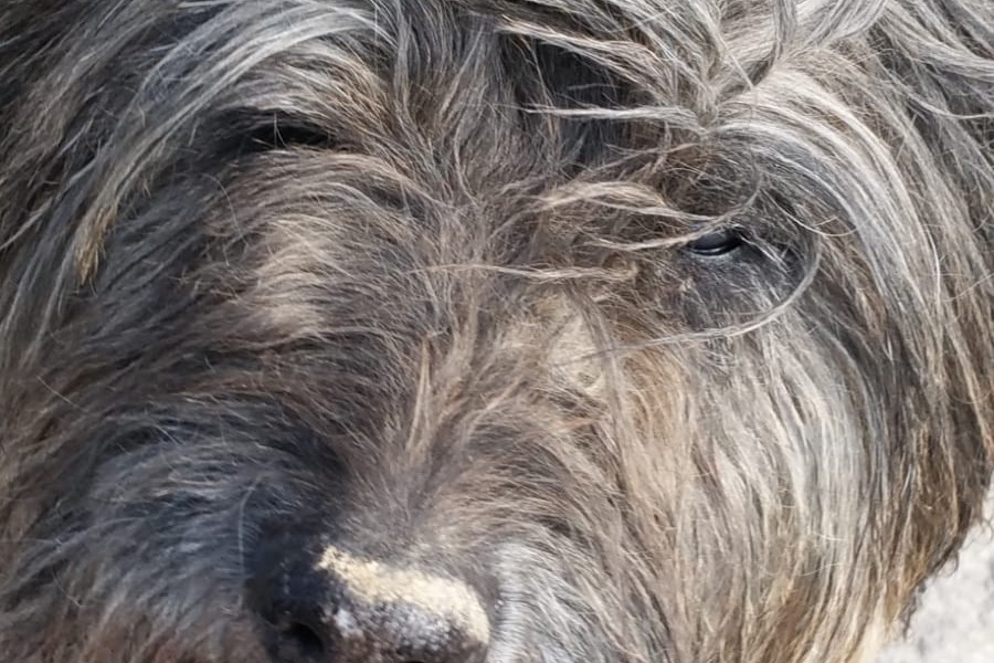 Bajaro Bonito del Fuego Gos d'Atura Català