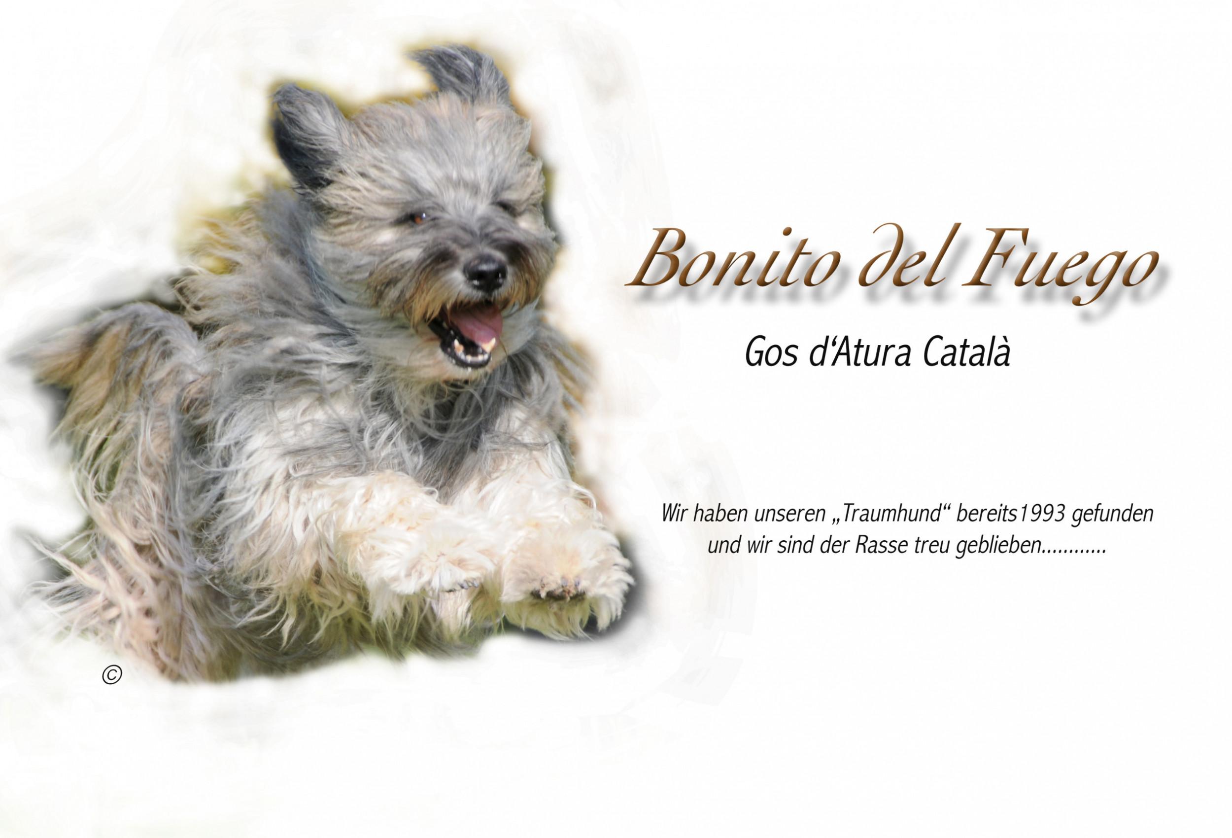 Gos d'Atura Català Bonito del Fuego